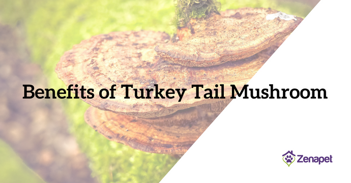Benefits of Turkey Tail Mushroom Powder for Your Dog (And Why You Need to Know!)