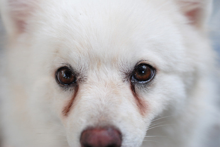 What You Need To Know About  Your Pet's Unsightly Tear Stains