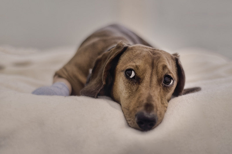 Signs of Post-Traumatic Disorder in Dogs