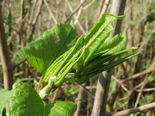Resveratrol Japanese Knotweed photo