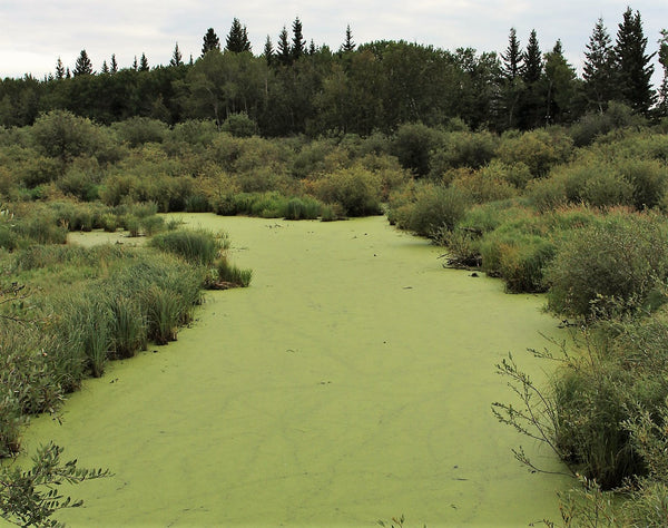 Spirulina in lake photo