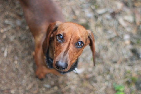 Dachshund –Standard or Miniature image
