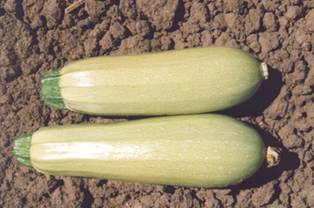 King F1 Lebanese Summer Squash