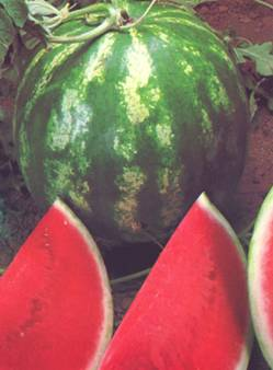 Julia F1 Seedless Hybrid Watermelon