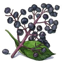 The Ancient Medicine Chest - A look into Elderberry