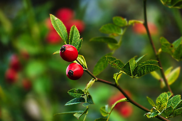 We're All Abloom Over Rosehip Oil