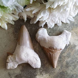 Shark's Tooth Fossil (1 PIECE)
