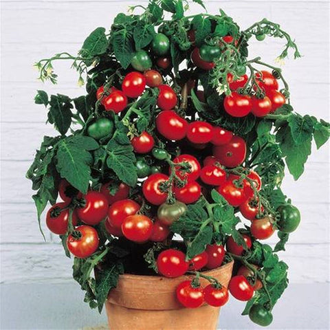 Mini Tomato Plant -m200 seeds - Slim Wallet Company