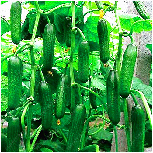 Extremely Early Cucumber, Polish variety 100 seeds - Slim Wallet Company