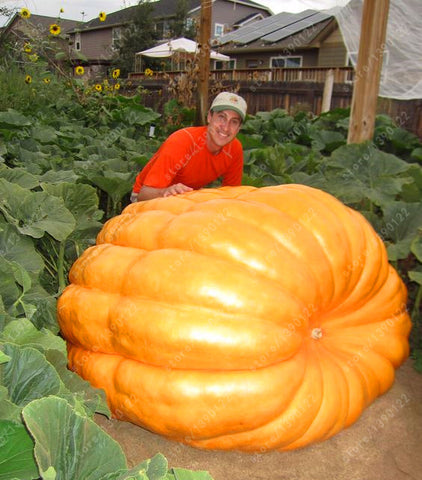 20Pcs Giant Pumpkin Seeds