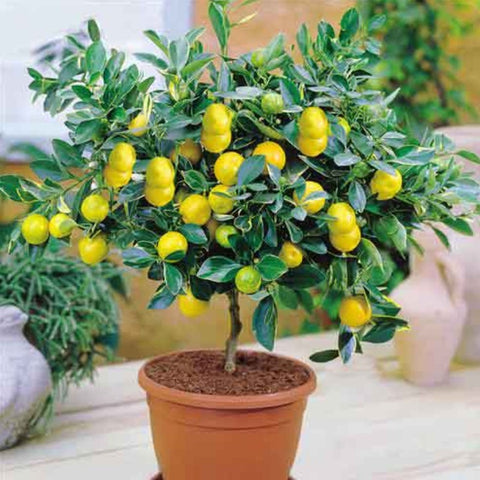 Bonsai Lemon Tree Seeds 50 pieces / bag