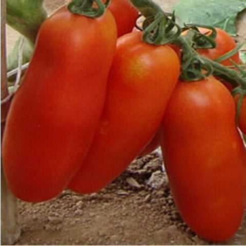 Bunches of bananas Hot Tomato 200 Seed  organic vegetable - Slim Wallet Company