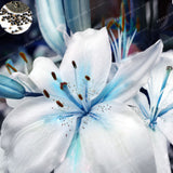 Specials Blue Heart Lily Seeds 50 Particles