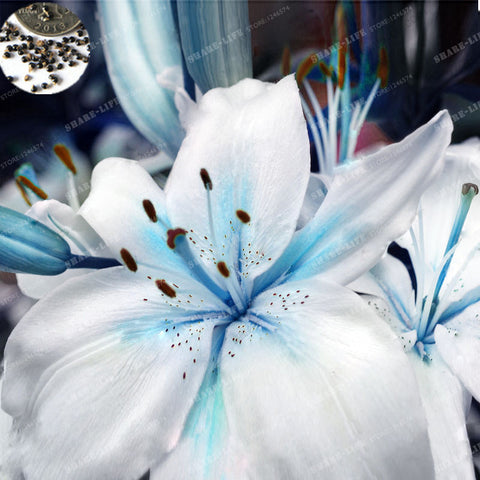Specials Blue Heart Lily Seeds 50 Particles - Slim Wallet Company