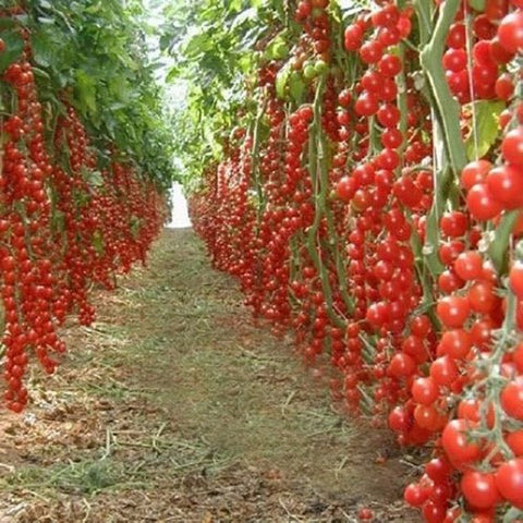 Novel Tomato Plants - 200 seeds / pack - Slim Wallet Company