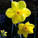 Daffodils 100 seeds - Slim Wallet Company