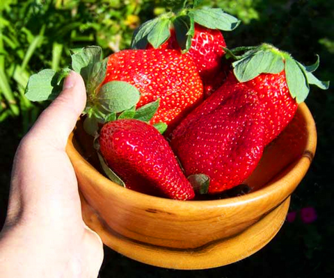 Giant Strawberry Seeds - Rare - Big as a Peach - 300/bag