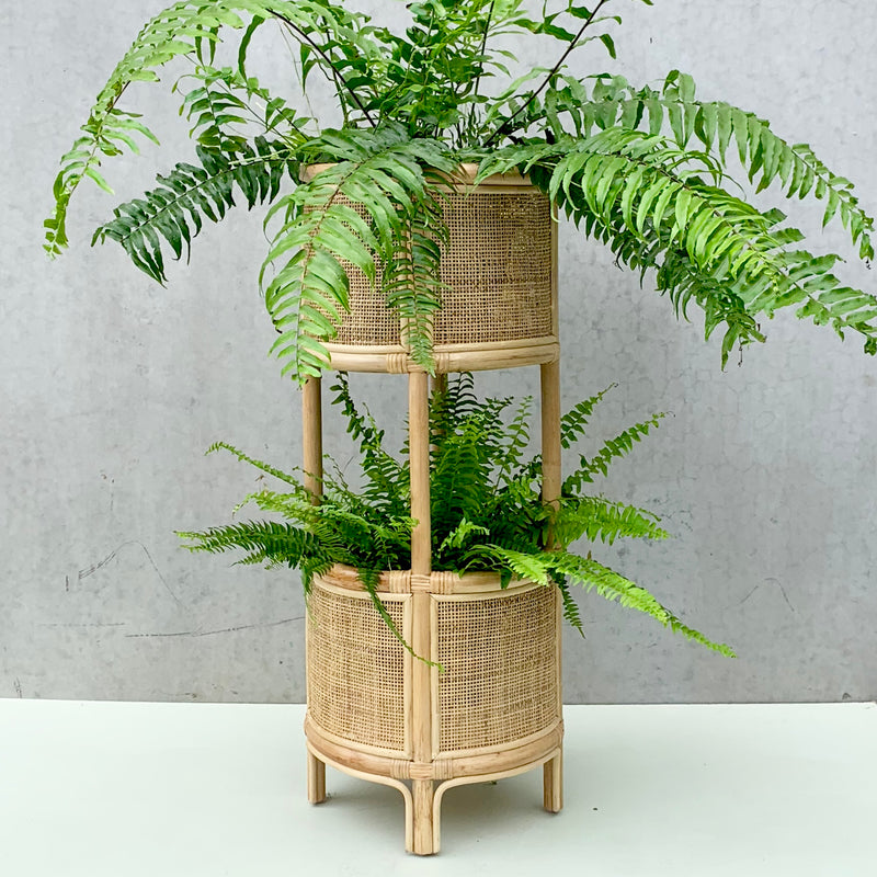 Boston Fern, Macho Fern + Double Rattan Plant Stand