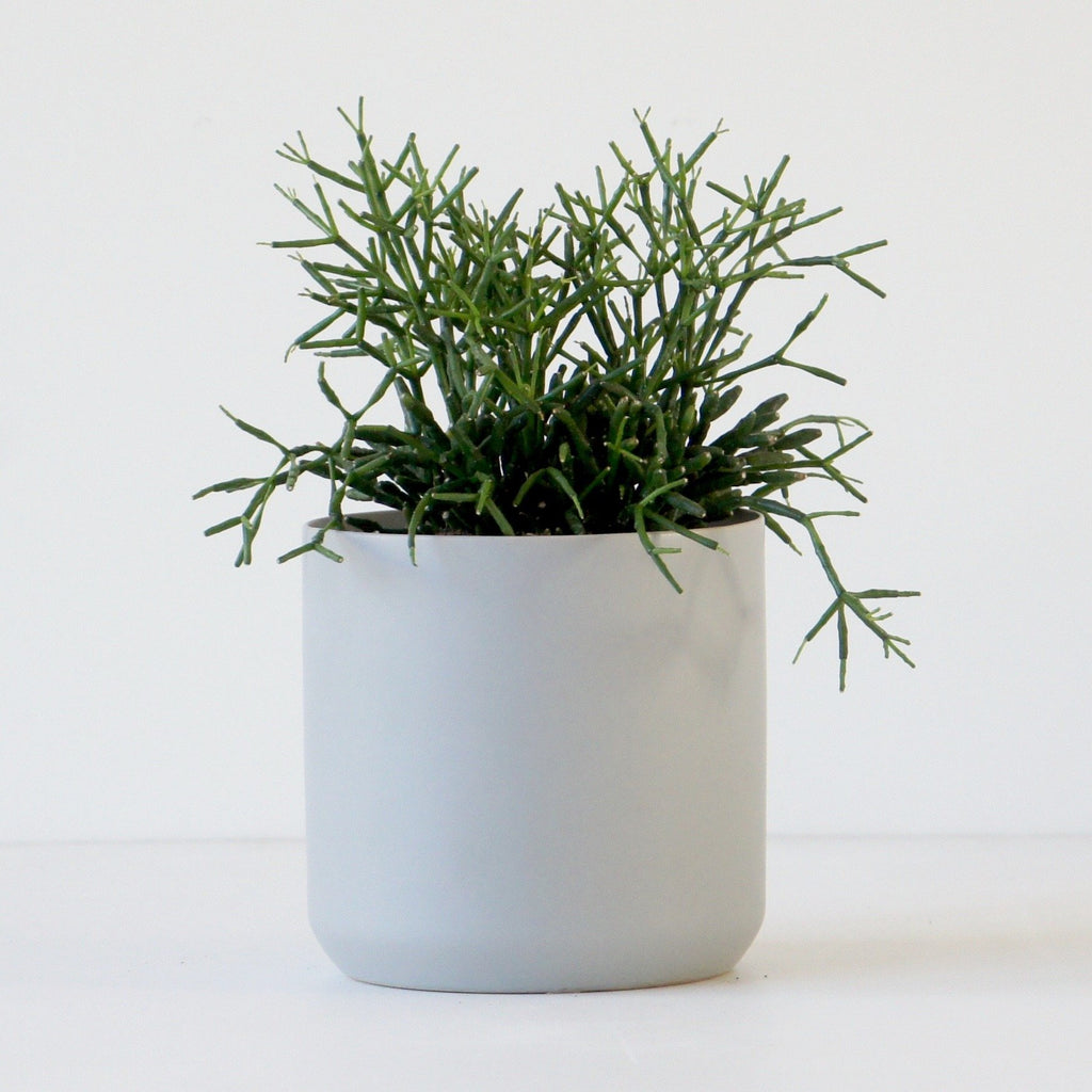 Mistletoe Cactus + Into the Wild Basic Pot