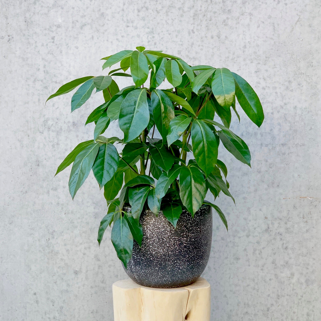 Umbrella Tree 24cm