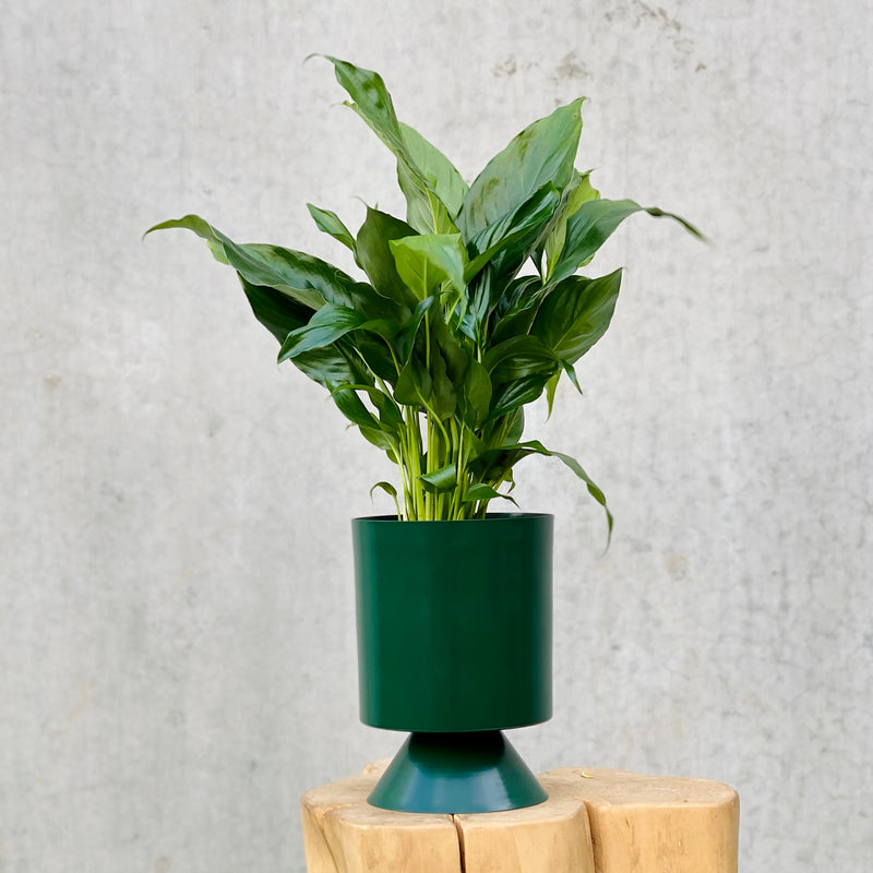 Peace Lily + Palm Springs Planter Small Forest