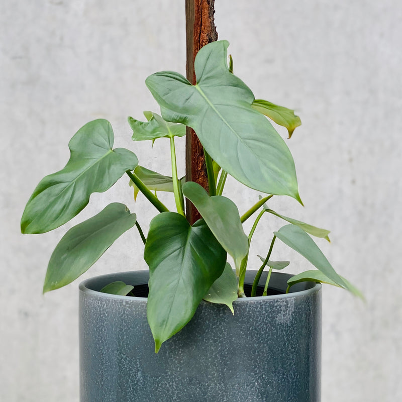 Wolf's Head Philodendron + Mio Pot Large Smoke