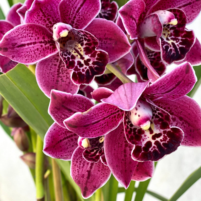 Cymbidium Orchid + Samso Planter Large Wine