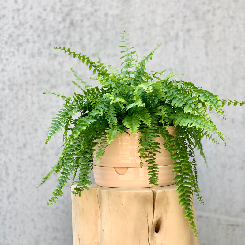 Boston Fern + Self Watering Pot