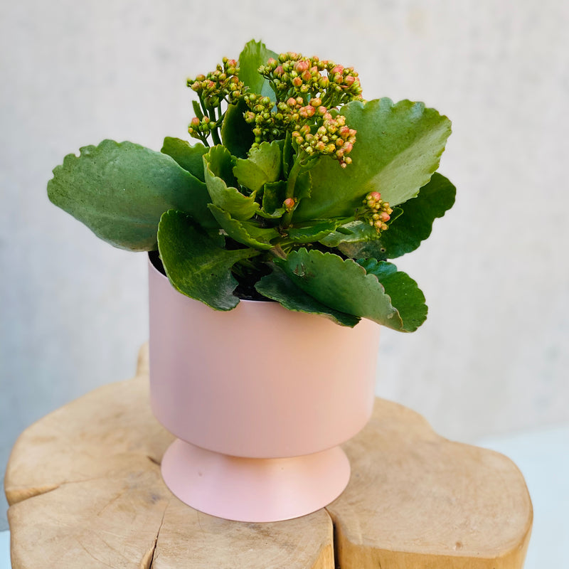 Kalanchoe Succulent + Palm Springs Planter Mini Dusty Rose