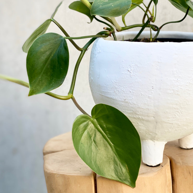 Heart Leaf Philodendron + Monte Pot Medium White