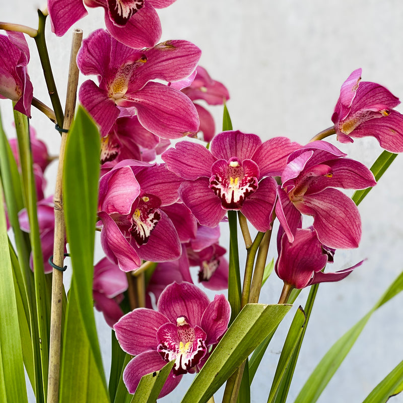Cymbidium Orchid (PLANT ONLY)