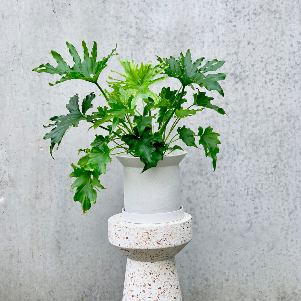Philodendron hope + Sandstone Pot