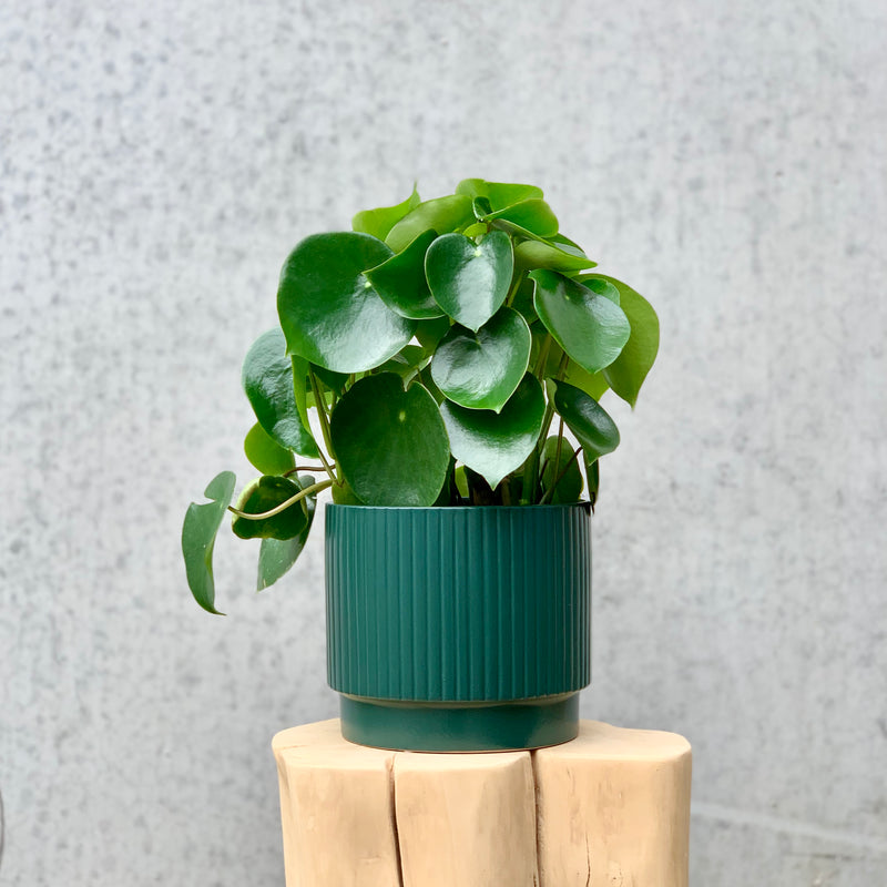 Coin Leaf Peperomia 19cm