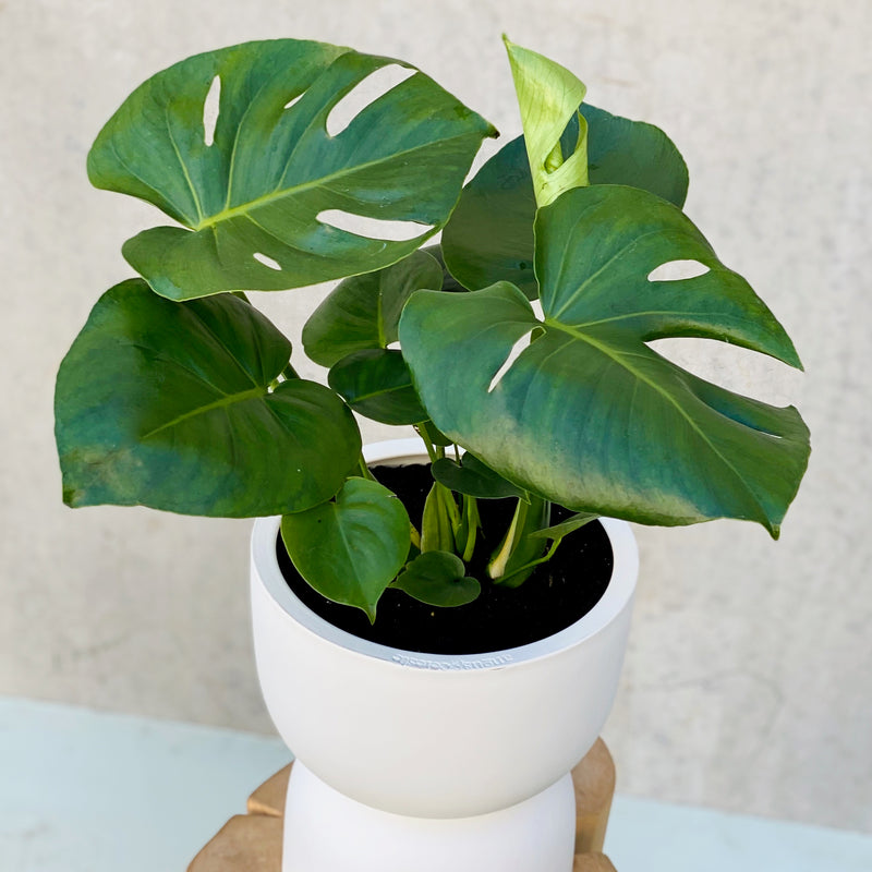 Monstera Deliciosa + Raw Earth Plant Stand POTTED