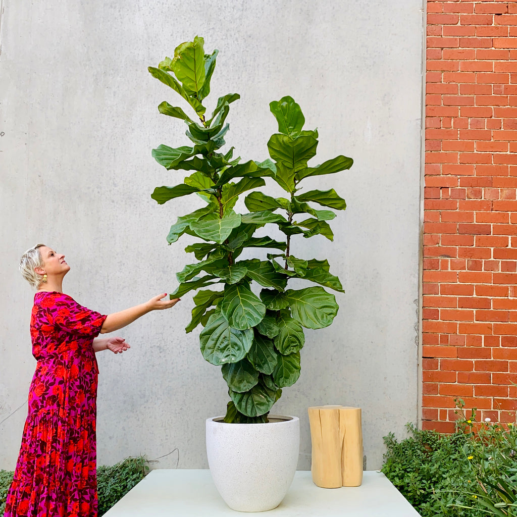 Fiddle Leaf Fig 40cm + Batu Pot