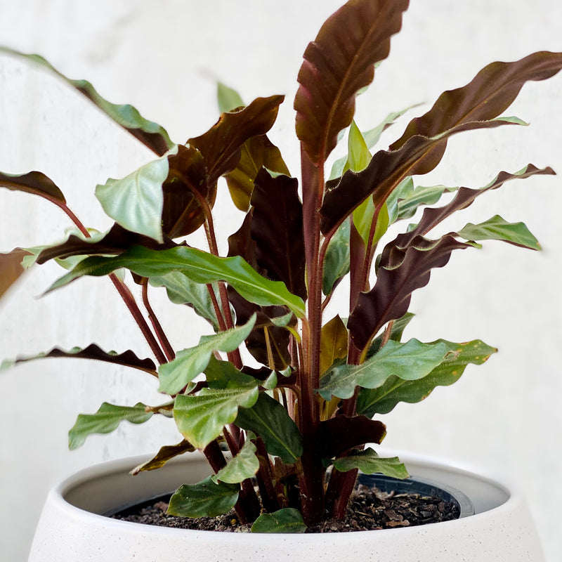 Calathea Rufibarba + Bower Pot Large Putty