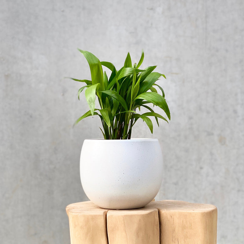 Bamboo Palm 12cm (PLANT ONLY)