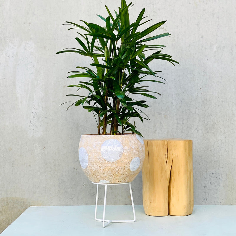 Rhapis Palm + Hand Thrown Boulder Pot Brown
