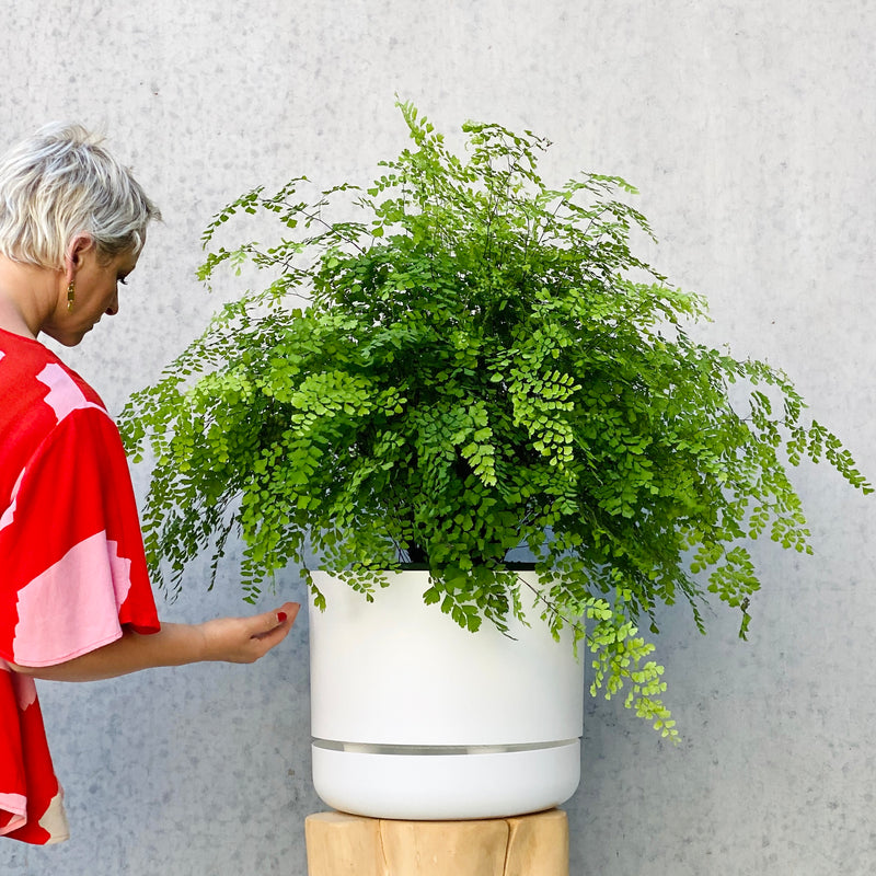 Maidenhair Fern + Mr Kitly Pot