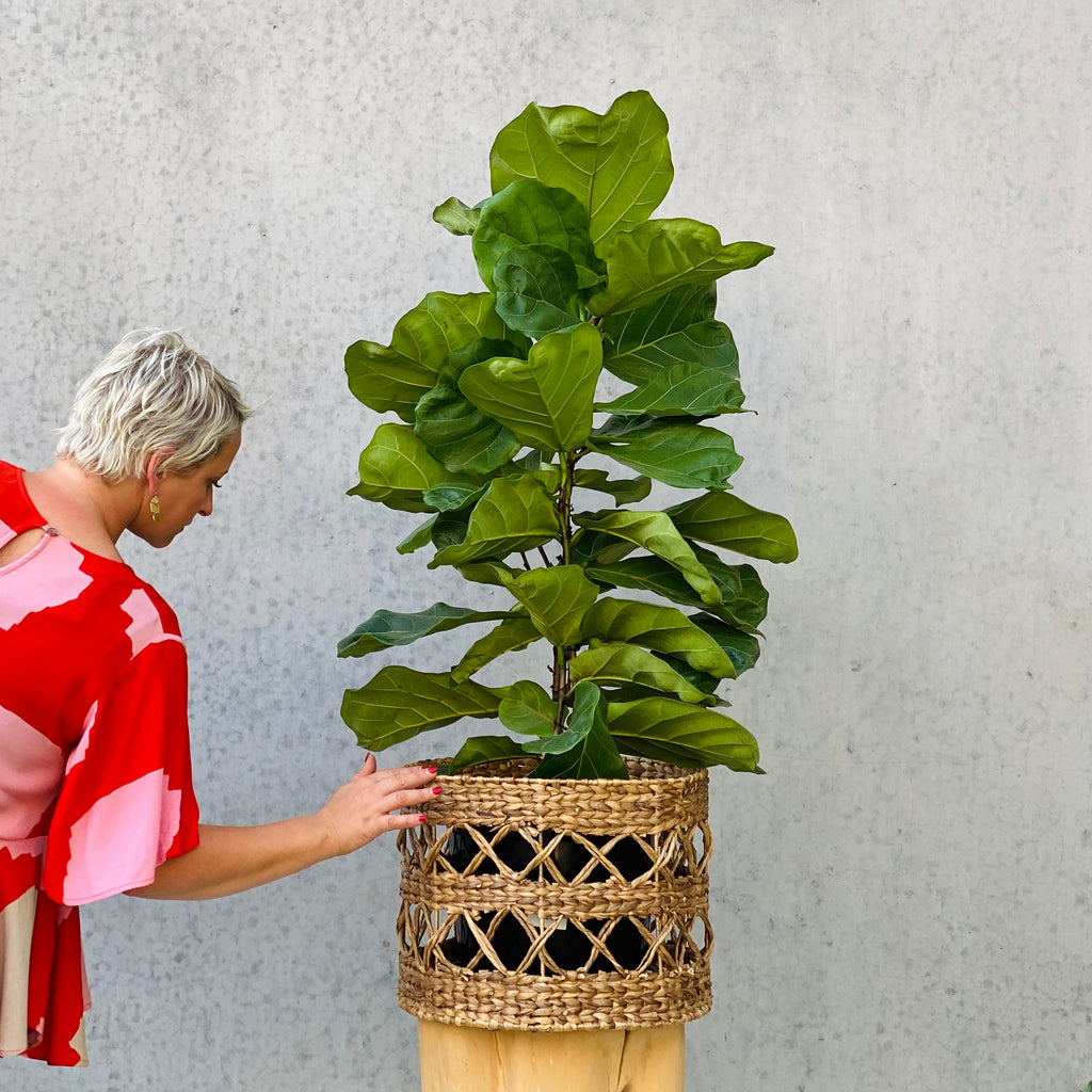 Fiddle Leaf Fig + Hyacinth Basket