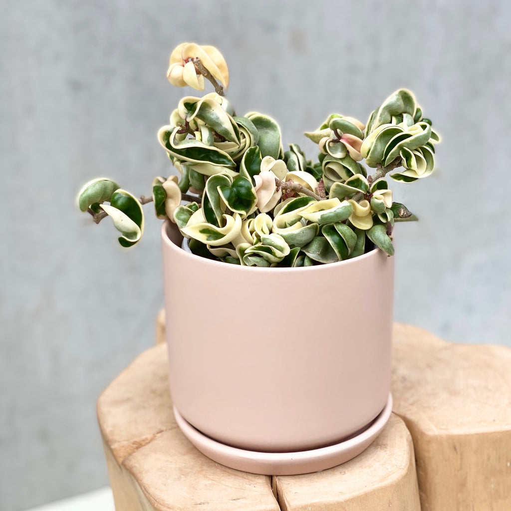 Indian Rope Hoya Variegated + Oslo Planter Medium Peach