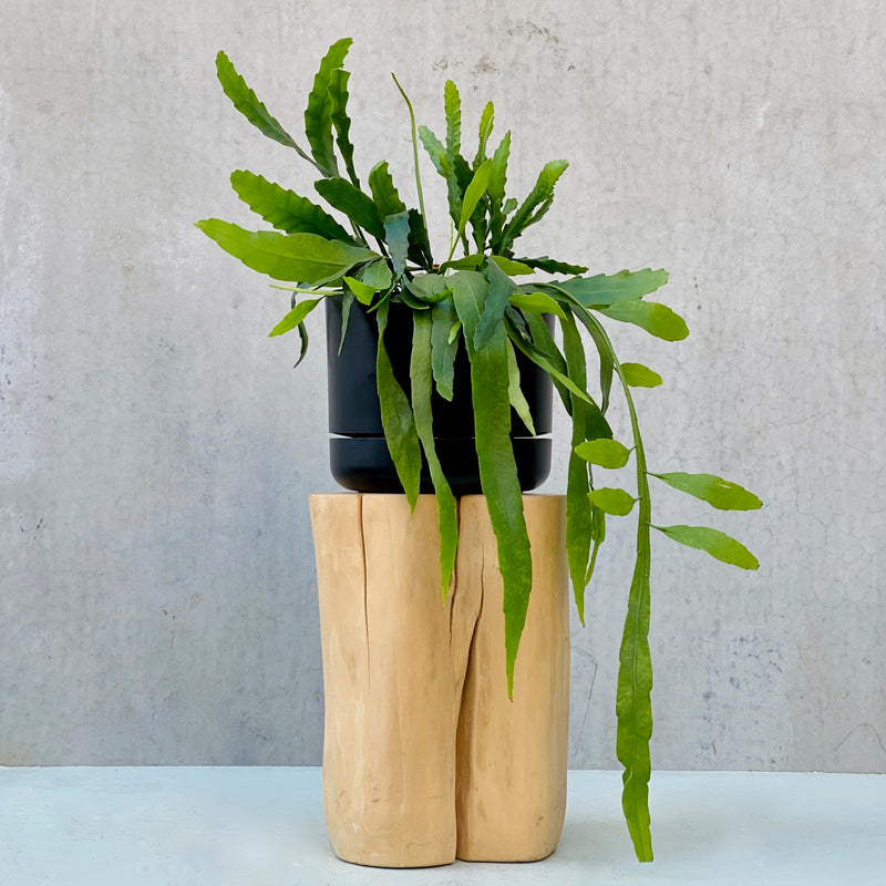 Mistletoe Cactus + Mr Kilty Self Watering Pot Black