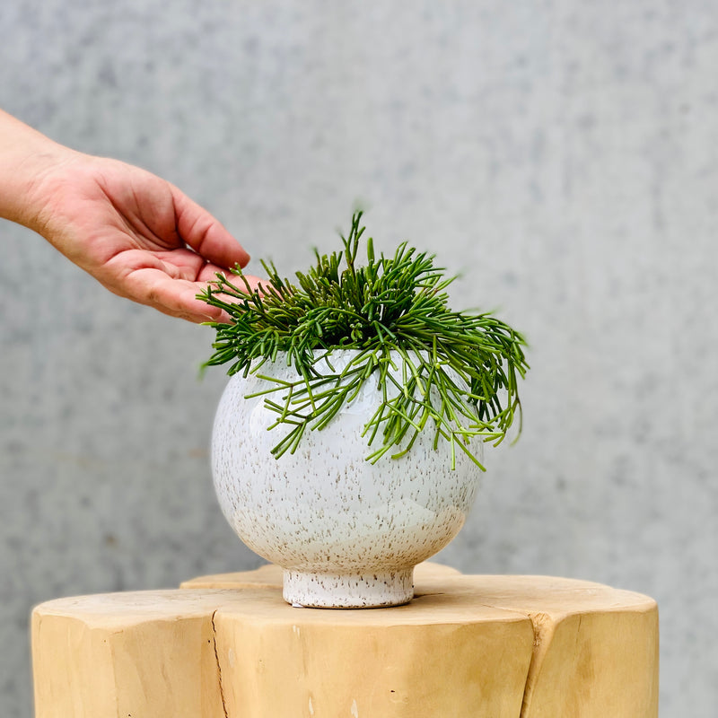 Mistletoe Cactus (Mistletoe clavata) + Nature Ball Pot