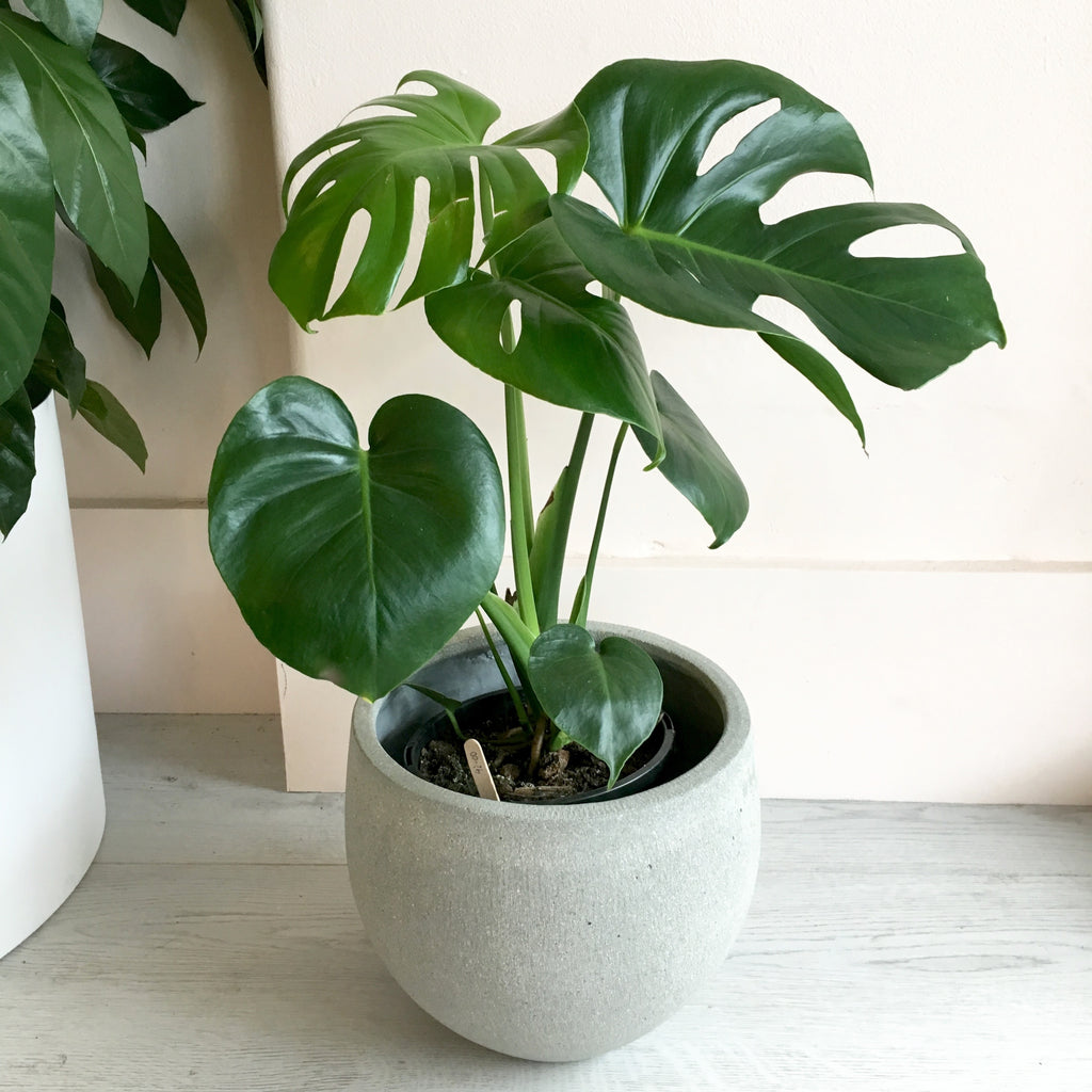 Monstera deliciosa + Concrete Pedra Pot