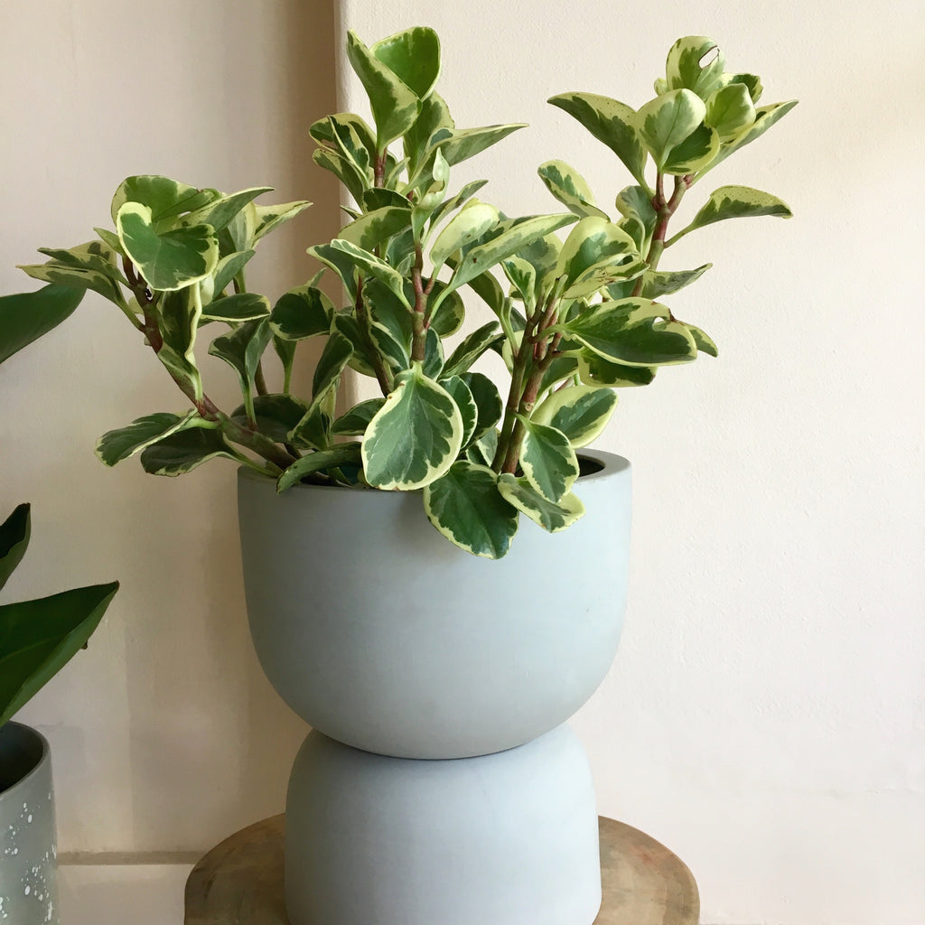 Peperomia Jade variegated + Angus & Celeste Raw Earth Plant Stand Pot