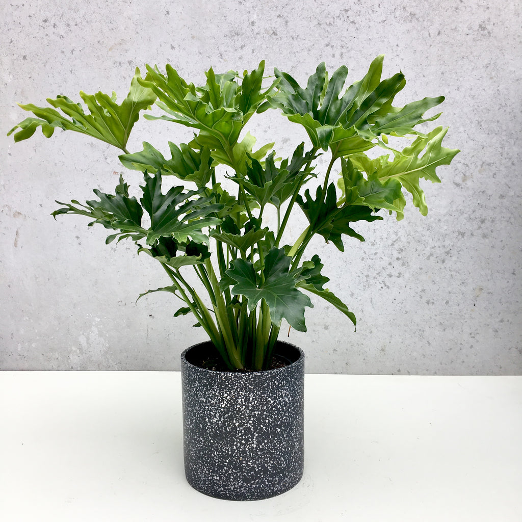 Philodendron Hope + Terrazzo Pot
