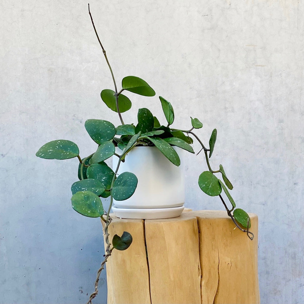 Devils Ivy + White Concrete Bowl