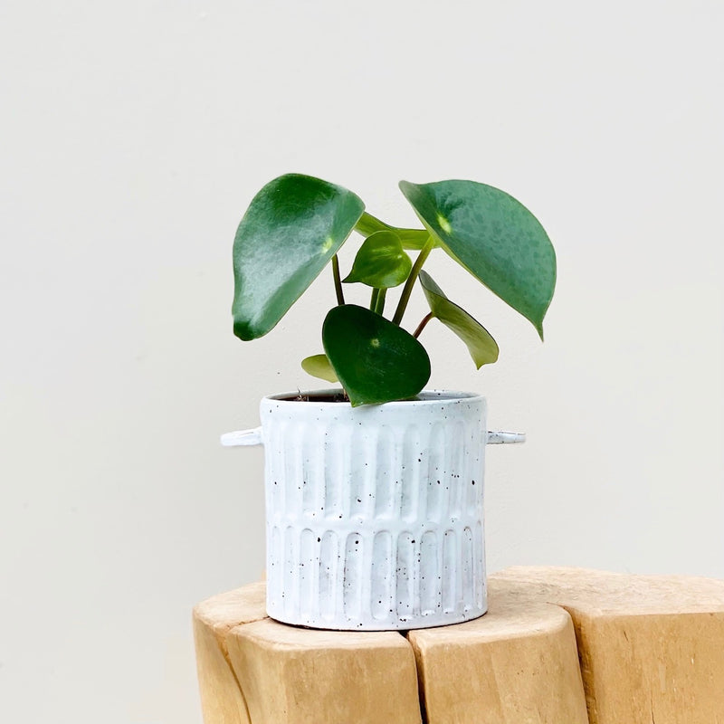 Cardboard Plant + Self Watering Pot Sage Green