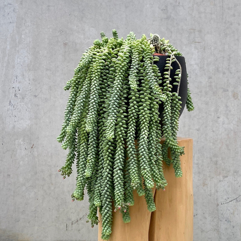 GIANT Donkey's Tail (& multi planted with cacti)