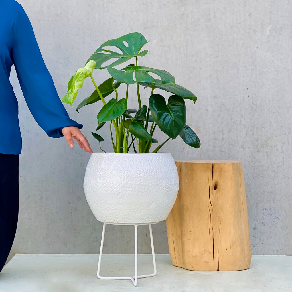 Monstera Deliciosa + Hand Thrown Boulder Pot Large White